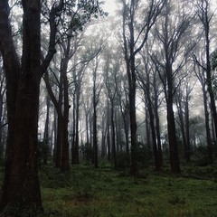 Standing Tall (faerymama) Tags: magical eerie enchanted haunted fog mist moody foggy misty trees woodland nature forest southernhighlands bowral australia