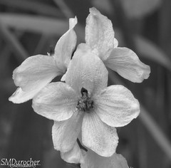 2017 07 Delphinium c (SMD Photos) Tags: delphinium black white bw