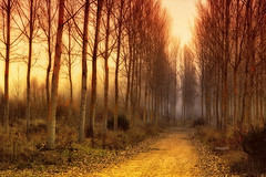 """Old forest..."" (Ilargia64) Tags: forest nature landscape gold tree wood mist amayasanchez"