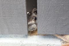 Yellow-bellied Marmot (sedge23) Tags: peachland marmots yellowbelliedmarmot okanagan