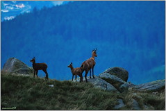 Bon! Maintenant on va où ? (jamesreed68) Tags: animaux chamois faune hohneck martinswand alsace 68 vosges hautrhin france grandest paysage nature montagne canon eos 600d