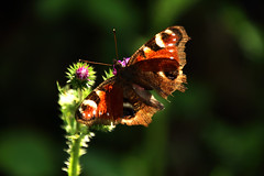 Peacock butterfly (na_photographs) Tags: schmetterling insect pfauenauge fühler