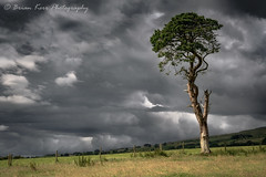 The Old Scots Pine (.Brian Kerr Photography.) Tags: cumbria edenvalley busk photography landscapephotography outdoorphotography scotspines light dark skies tree nature naturallandscape outdoor formatthitech zeiss 50mmf2 loxia countryside village weather photo visitbritain field landscape sky