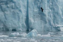 Small Eagle, Big Glacier (Tim Melling) Tags: meares glacier bald eagle alaska timmelling