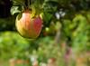 Sussex Wealden Apples (Adam Swaine) Tags: apples orchards trees batemans nationaltrust sussexgardens sussex summer england english fruit macro britain seasons eastsussex tree colours fourseasons