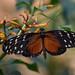 Butterfly @ Wildlands Adventure Zoo Emmen 16-10-2016 (Maxime de Boer) Tags: butterfly vlinder wildlands adventure zoo emmen animals dieren dierentuin dierenpark gods creation schepping