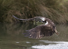 Osprey (Steve Ashton Wildlife Images) Tags: osprey raptor bird prey pandion haliaetus pandionhaliautus