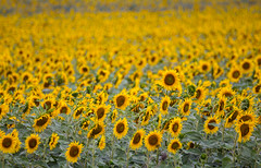 In The Direction Of The Sun (mikhailkorzhalov) Tags: canon tamron tamron70300 300mm nature naturallight day outdoors flora flower flowers yellow plant plants sunflower sunflowers field fields helianthus asteraceae bokeh