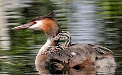 Great crested grebe with young (Corine Bliek) Tags: bird birds young jongen kleintjes small waterfowl waterbird water nature natuur wildlife podicepscristatus