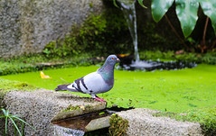 2017 SPM1770 Pigeon at Jardim Tropical Monte Palace (Monte Palace Tropical Garden) in Funchal, Madeira, Portugal (teckman) Tags: 2017 bird botanicalgardens funchal jardimtropicalmontepalace madeira portugal pt