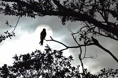The Eagle King and the singing crow !! (Sriini) Tags: eagle crow sun bleak monochrome halo holy king singing morning sunrise cloudy birds silhouette tree leaves light cloud sky black white blackandwhite nature mothernature 100 natural 52weeks2017 wk30 song blackwhitephotos