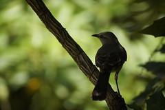 On a Limb (hanley.will) Tags: bird mockingbird nature green bokeh dukegardens sarahpdukegardens shade shadow