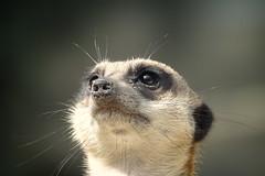 Stokstaartje (Suricata suricatta) (eric zijn fotoos) Tags: sonyrx10111 holland nederland dierentuin fauna dier sonyrx10iii detail sonyrx10m3 noordholland zoo animal