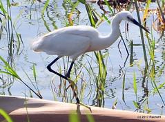 DSC_0508 (RachidH) Tags: birds oiseaux egrets aigrettes littleegret egrettagarzetta aigrettegarzette nile river maadi cairo egypt rachidh nature