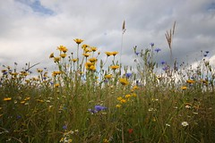 Summer Meadow (Taracy) Tags: cotswold lavender farm wild flowers meadow england sky