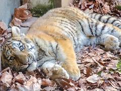 Yeux revolver (Zéphyrios) Tags: besançon doubs franchecomté nikon d7000 citadelle musée muséum jardinzoologique zoo animal tigre sibérie tigredelamour panthera tigris tigreau