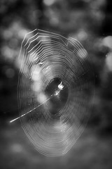 Spinning In The Morning Light-HMBT! (Finally Some Cooling Rain :)) Tags: monochrome monochromebokehthursday orbspider web bokeh greytones monotones inthebackyard