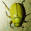 Shining Leaf Chafer (Keith Roragen) Tags: arizona insect coleoptera beetle scarabaeidae chafer shiningleafchafer rutelinae cotalpa greenvalley