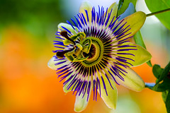 Passiflora Portrait (Blende1.8) Tags: passiflora passionsblume blüte blossom green orange blue colors colours colorful nature natur blume garten garden carstenheyer pflanze macro makro closeup close nahaufnahme details summer sommer fuji fujifilm xt20 xc50230mm
