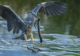 Heron - Anyone for Eel?