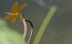 Golden Dragonfly Kite (arlene sopranzetti) Tags: golden dragonfly kite string spider web macro insect eastern amberwing