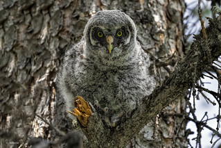Great Gray Owlet / Chouette lapone
