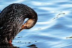 2017 July 30 Peace Valley-9_.jpg (jwfuqua-photography) Tags: duck birds nature waterfowl pennsylvania jwfuquaphotography mallard peacevalleynaturecenter buckscountyparks buckscounty jerrywfuqua