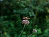 Kolibrievlinder/Hummingbird hawk-moth (Elise de Korte) Tags: fr france frankrijk hummingbirdhawkmoth kolibrievlinder ldf lafrance macroglossumstellatarum bloei bloeien bloem bloemen fleur fleurs flower flowers garden jardin tuin verbenabonariensis