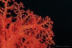 Red Sea (Dive Live) Tags: red sea dive divin nauticam mar vermelho g7x emperor egito uwl04 reef live aboard