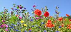 Mein Blumenwiese (Mariandl48) Tags: blumenwiese mohnblumen kornblumen malwen sommersgut wenigzell steiermark austria
