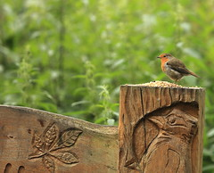 fred the robin. (Barry Miller _ Bazz) Tags: robin bird canon 5d3 l lens 70200 f28 widnes victoria park nature wildlife