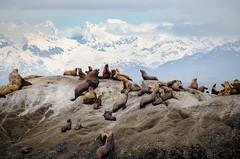 Alaskan Sea Lions (t conway) Tags: