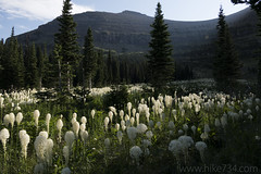 "Beargrass along the Piegan Pass trail • <a style=""font-size:0.8em;"" href=""http://www.flickr.com/photos/63501323@N07/35584130680/"" target=""_blank"">View on Flickr</a>"