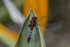 Erythrodiplax abjecta (Rambur, 1842) ♂ (PriscillaBurcher) Tags: erythrodiplaxabjecta erythrodiplax odonata dragonfly dragonflies dragonlet skimmer libélula libellulidae laceja colombia priscillaburcher l1320472