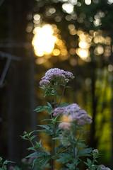 Bokeh 1 (Florian.Schäfer) Tags: outdoor zeiss cy flower plant bokeh 50mm