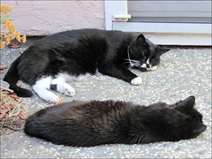Cat naps (Needleloca) Tags: 2017 cats sombra tica ribbet