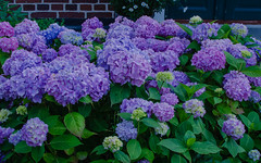 Hydraneas (frankmh) Tags: plant flower hydrangea viken skåne sweden outdoor