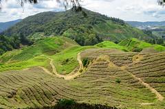 Cameron Highlands (Theo Crazzolara) Tags: cameron highlands cameronhighlands pahang tee malaysia malaysien asien tea estates plateau landscape scenery scenic agriculture