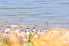 Brine fly and brine shrimp feast (Great Salt Lake Images) Tags: summer morning causeway migratorybirds greatsaltlake utah