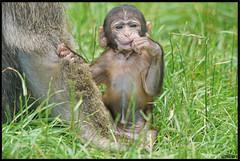 Trentham Monkey Forest 6 (MTB1975) Tags: monkeyforest trenthamgardens trenthammonkeyforest trentham monkey forest animal uk visit stoke placestovisitanimalnaturefurportraitsonysony a77 nature