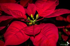 Red in the Dark (Zaheer Baksh Photography) Tags: pointsettia pointsettias large beautiful crimson flower flowers caribbean zbp red trinidadandtobago trinidad plant plants potted dark light shadows indoors flora floral beauty exotic life zaheerbakshphotography