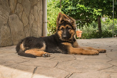 Jacko-5 (Sanz291) Tags: pastor aleman perro mascota fiel bello inteligente cachorro puppy can dog