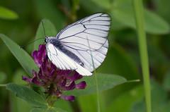 Põualiblikas; Aporia crataegi; Black-veined White (urmas ojango) Tags: lepidoptera liblikalised insecta putukad insects butterfly põualibliklased pieridae põualiblikas aporiacrataegi blackveinedwhite
