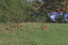 En fin d'après midi les lapins sortent / In the late afternoon the rabbits come out (BPBP42) Tags: nature lapin