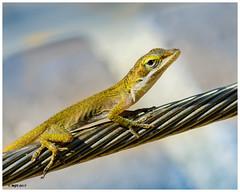 Carolina Anole (juvenile) DSC_0299 (blindhogmike) Tags: south carolina anole lizard columbia sc