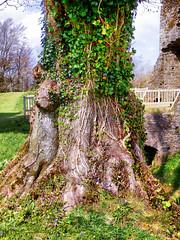 Restormel Castle, Lostwithiel, Cornwall (photphobia) Tags: restormelcastle norman normancastle lostwithiel cornwall uk oldwivestale oldtown castle castillo medieval ruin englishheritage englishcivilwar tree treetrunk ivy
