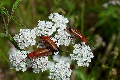 20170708_115921 Common Soldier Beetles, Cefn Ila