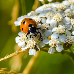Lady Power. (Omygodtom) Tags: elitebugs existinglight ladybug red insect bug flickr flower natural nikkor nature nikon tamron tamron90mm sunny flora gold dof d7100 digital detail macro bokeh