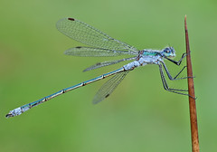 Male Emerald damselfly with early morning dew (Roger H3) Tags: damselfly emerald insect odonata