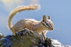 Uinta Chipmunk (Neotamias umbrinus) - Grand Teton National Park (Jim Frazee) Tags: uintachipmunk neotamiasumbrinus grandtetonnationalpark